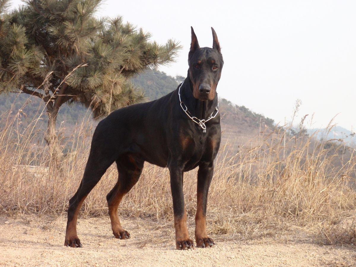 杜宾 马犬_杜宾犬介绍_罗威纳犬 杜宾