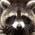 超可爱小浣熊