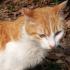 尖头黄白猫